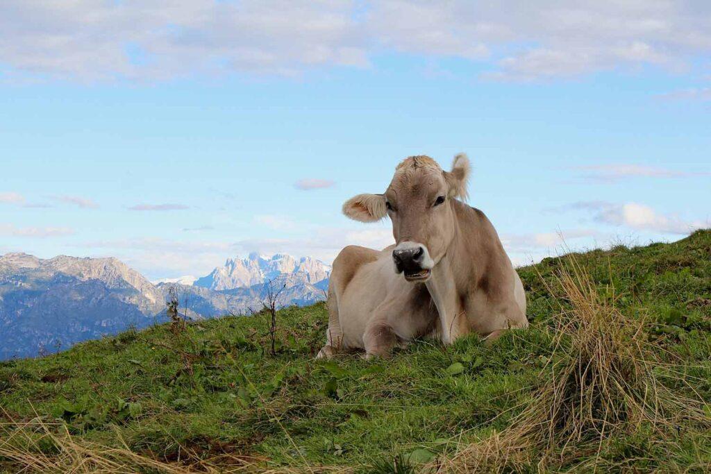 vacca al pascolo a Malga Mariech